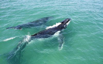 Animal Messengers:  Whale